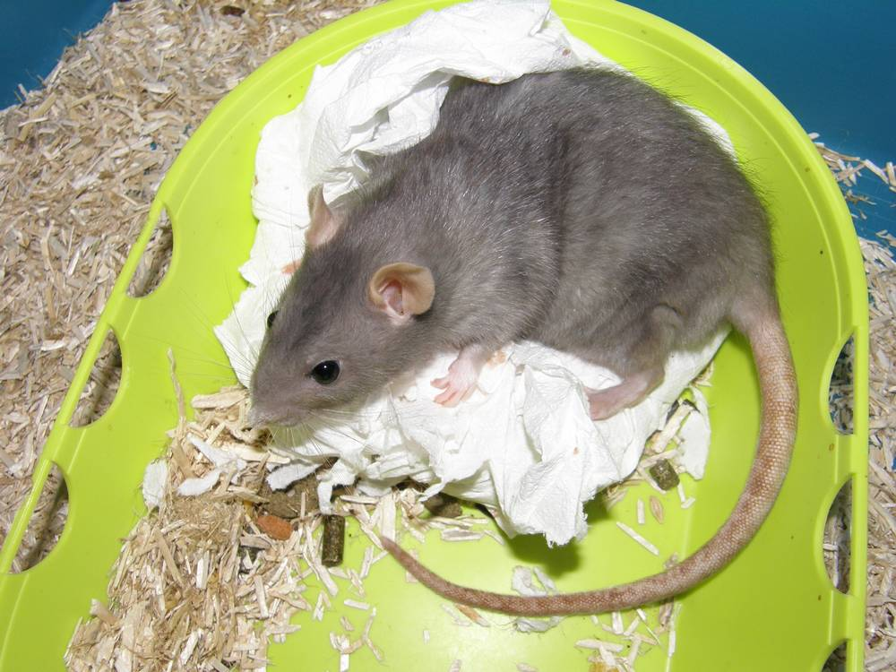 VIDEO. Un rat qui maigrit est bien souvent un rat malade