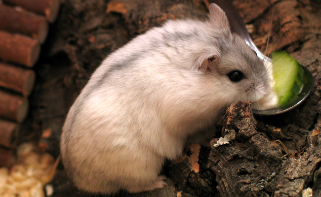 comment aider le hamster à perdre du poids perte de poids de personnage de manga