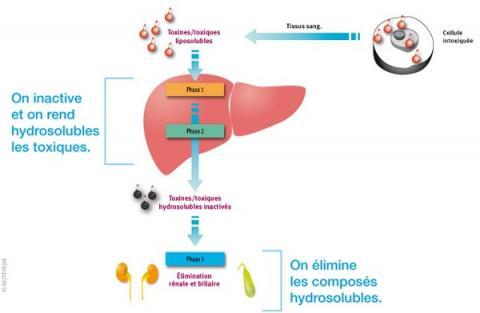 la perte de graisse libère des toxines comment perdre du poids de plus de 200 livres