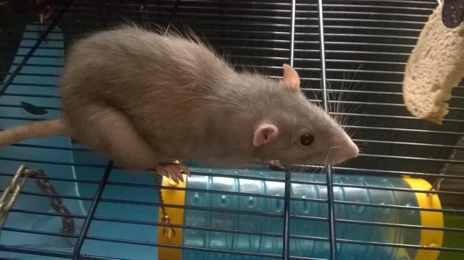 pourquoi mon rat a-t-il perdu du poids