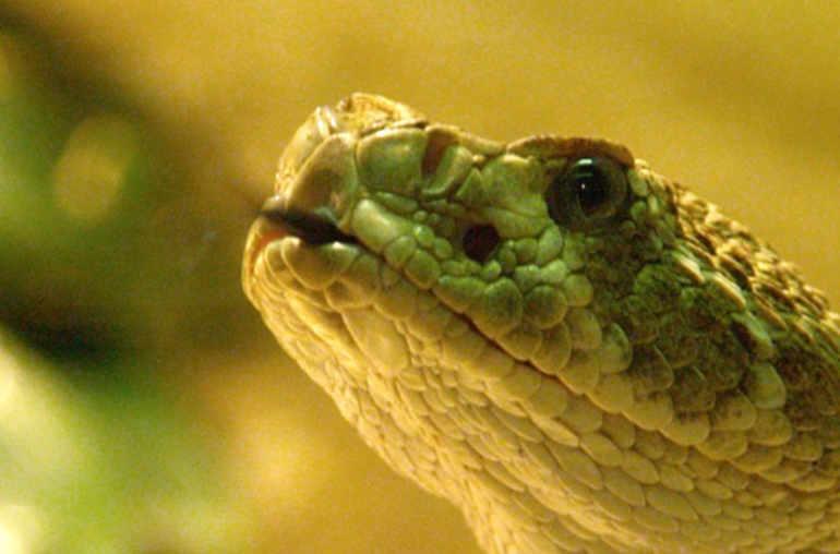 perte de poids de venin de serpent