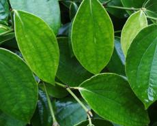feuilles de bétel pour perdre du poids ma perte de poids de 600 livres de vie