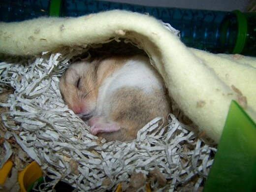 perte de poids chez les hamsters syriens brûleur de graisse lifevantage