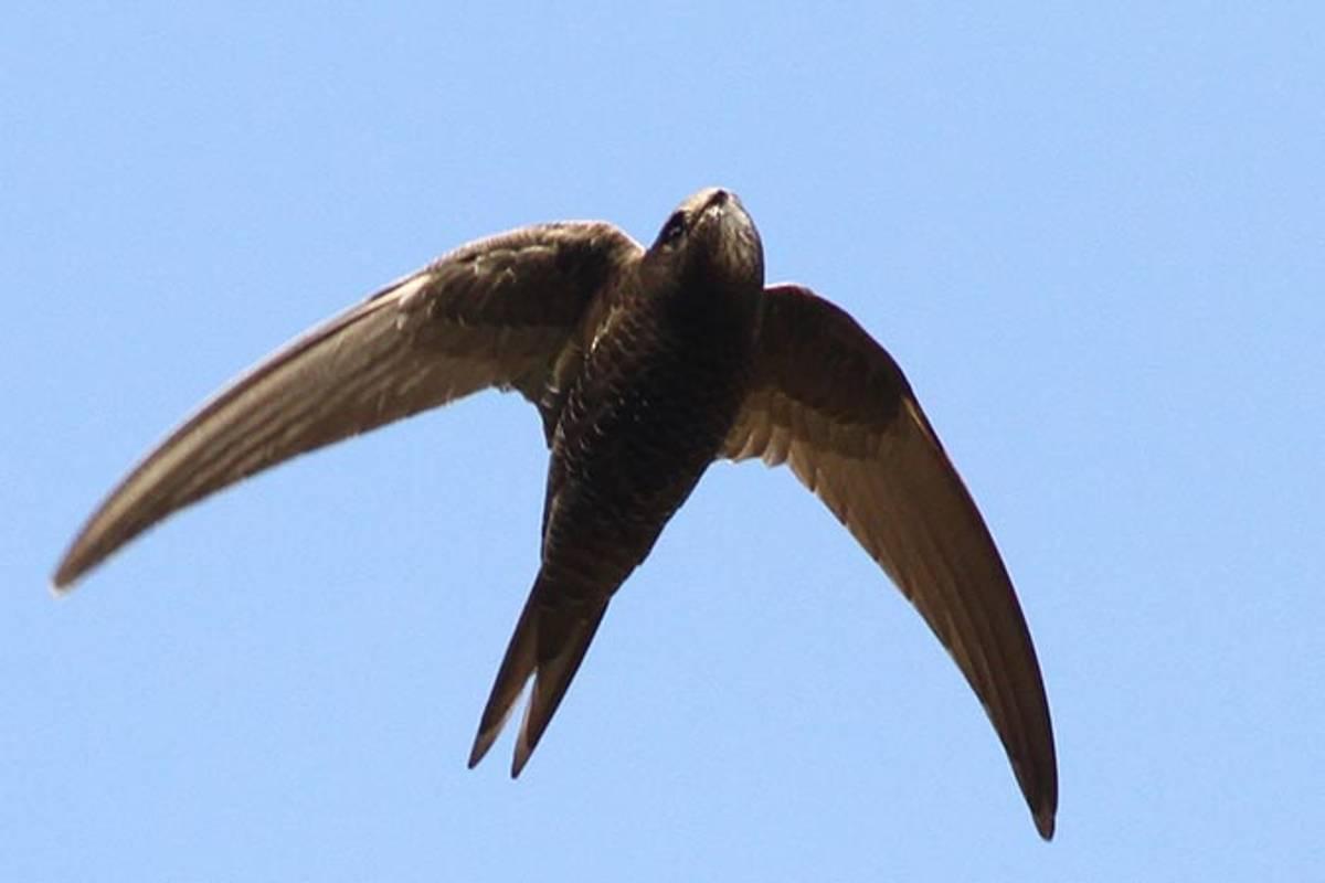 Les migrations des oiseaux d'eau de plus en plus difficiles