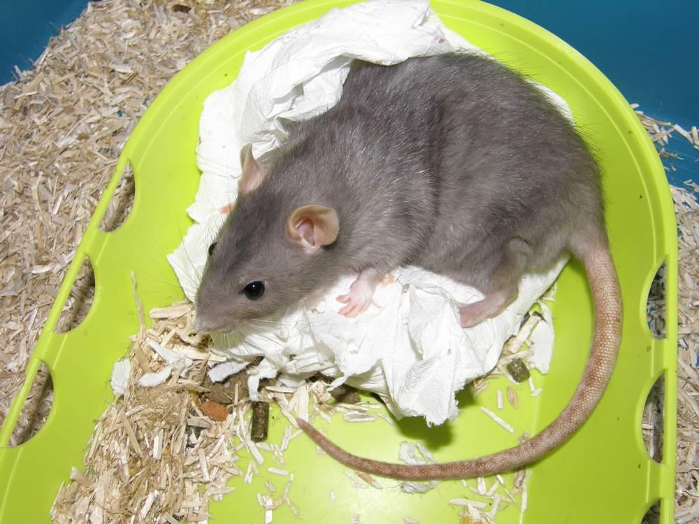 rat de compagnie perdre du poids