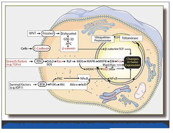 Carcinome Hépato-cellulaire : données actuelles - Revue Médicale Suisse