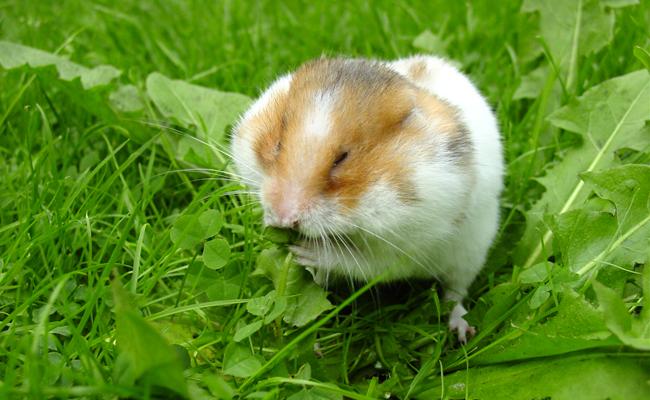 perte de poids chez les hamsters syriens pamela doyle perte de poids