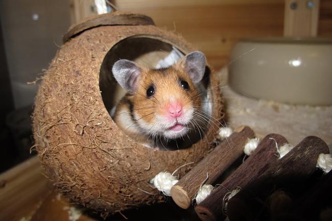 perte de poids chez les hamsters syriens meilleure façon de perdre du poids à 50 ans