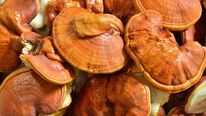champignon reishi pour perdre du poids effets secondaires de perte de poids anavar