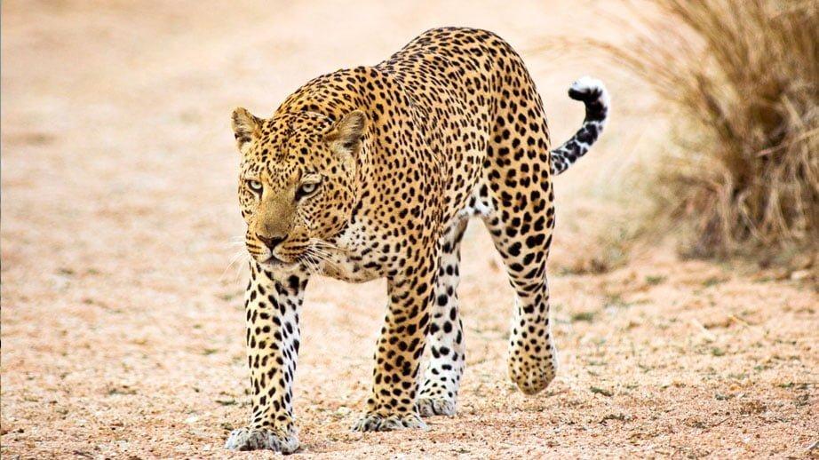 perte de poids de léopard