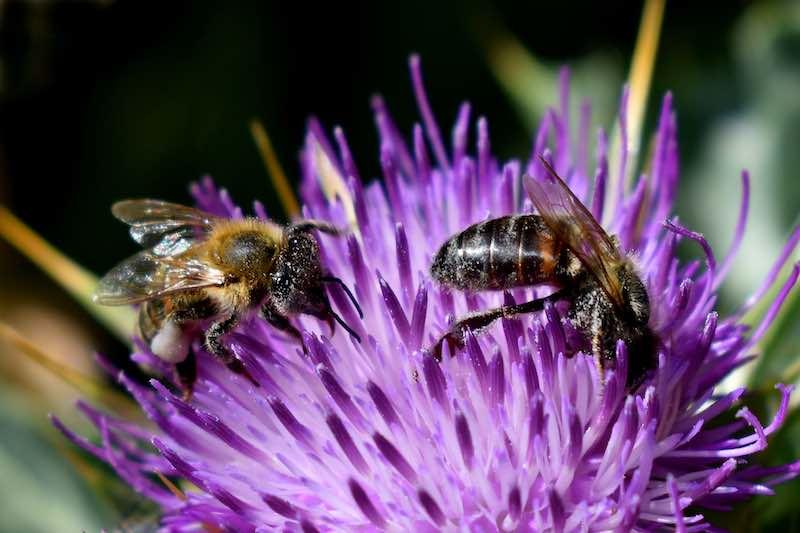 abeilles brûleur de graisse