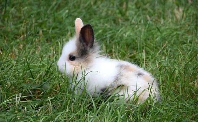 perte de poids chez les lapins plus âgés