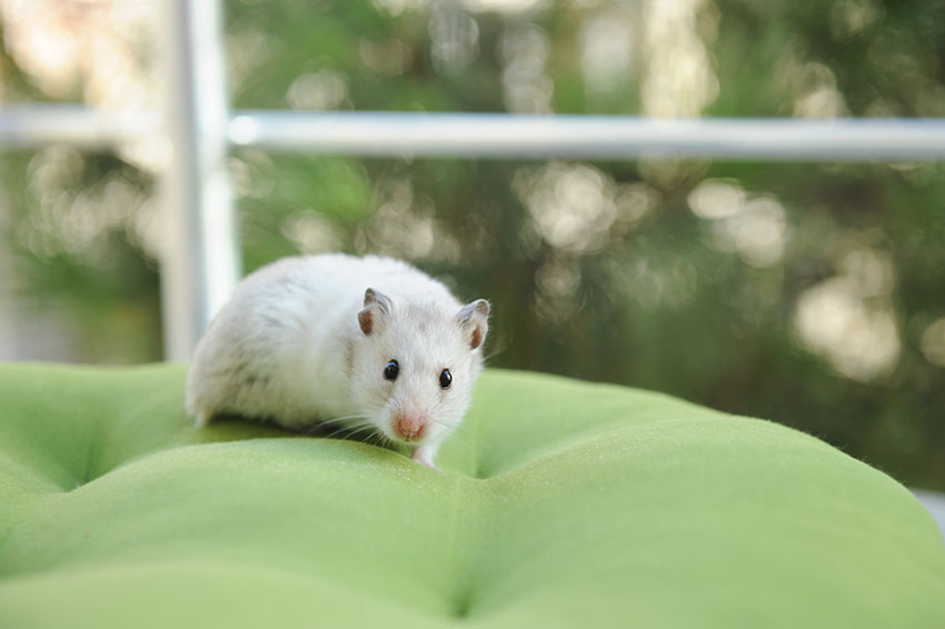 comment aider le hamster à perdre du poids Les pompes et les situps aideront-ils à perdre du poids