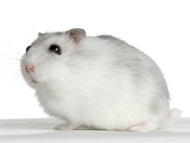 comment aider le hamster à perdre du poids allaitement et perte de graisse