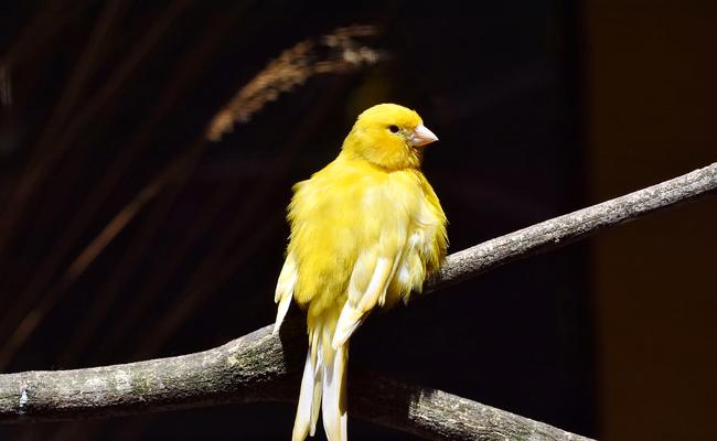 les oiseaux perdent-ils du poids lorsquils muent
