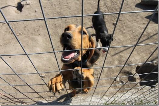 Informations sur les chiens qui toussent !