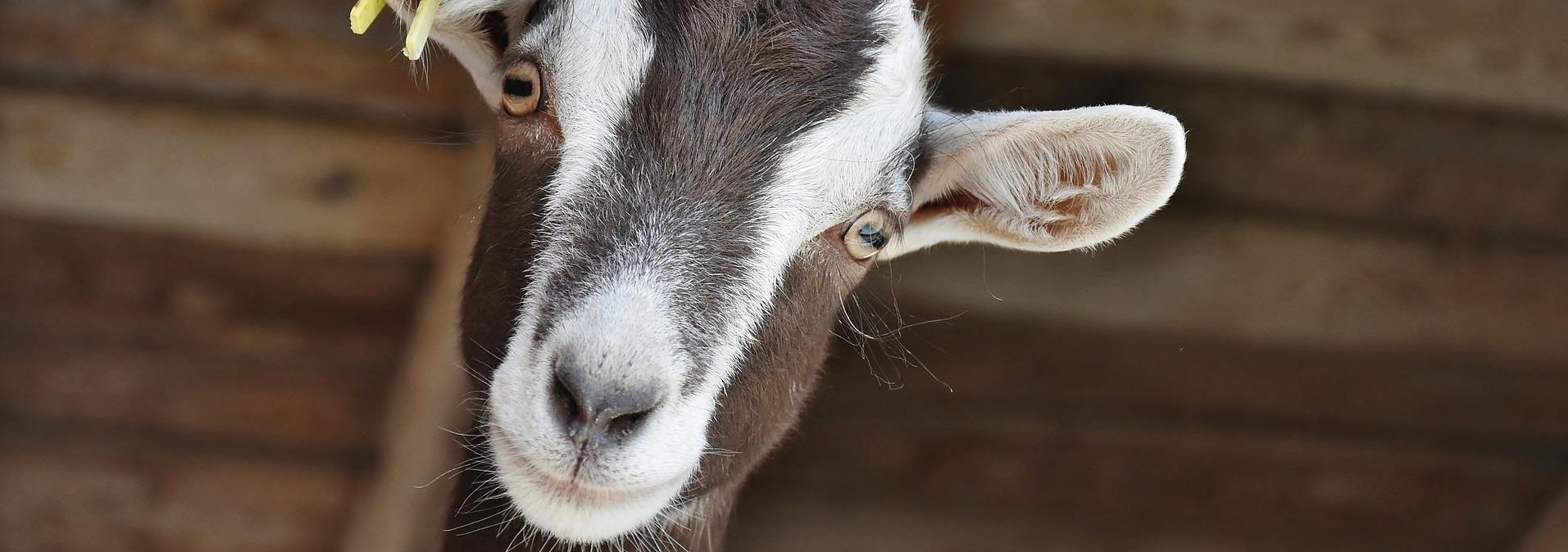 chèvres de perte de poids