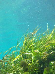 avis de perte de poids de varech de mer