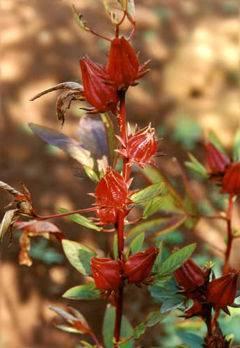 Les Bienfaits Santé de l'Hibiscus